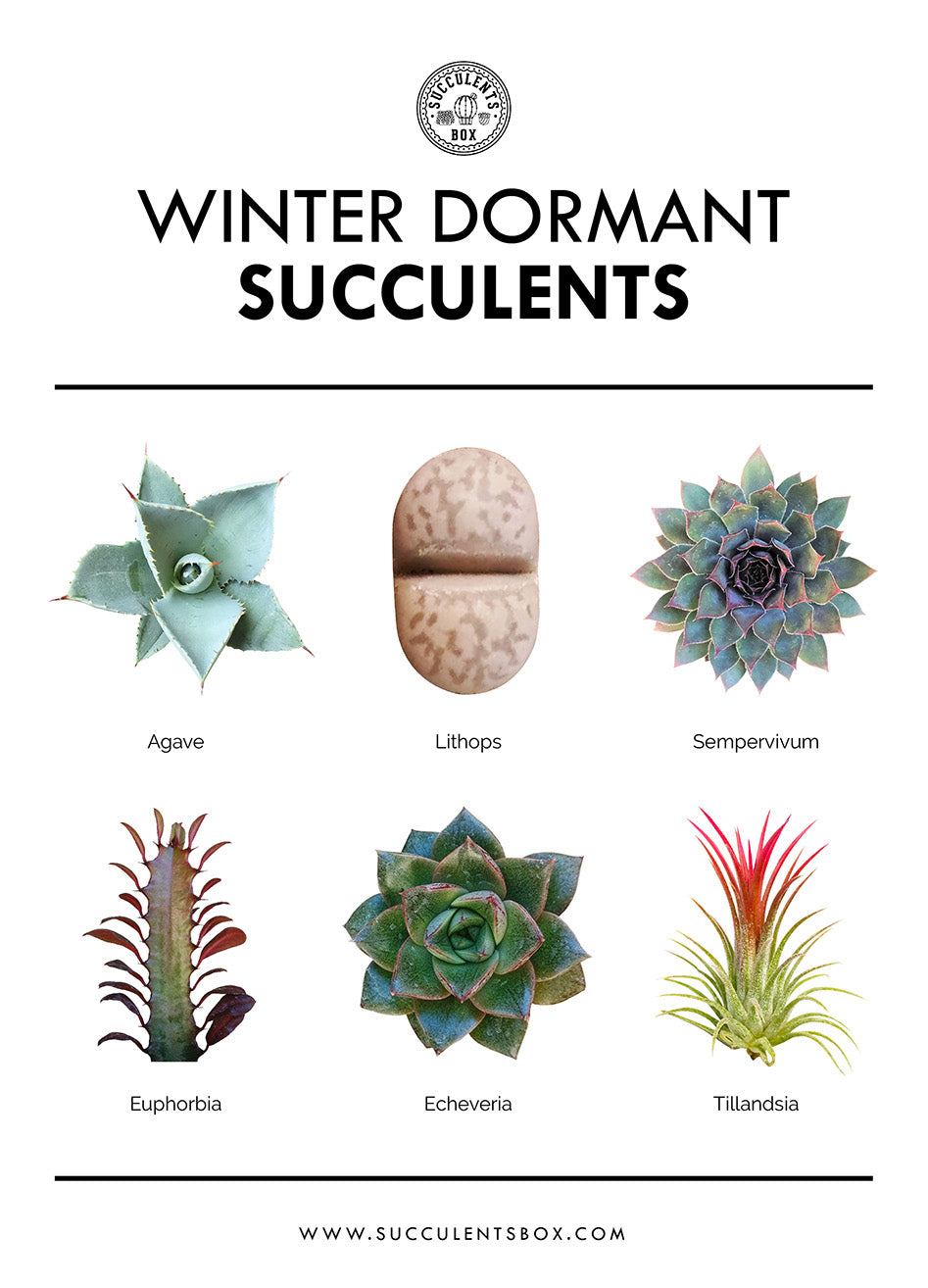 Succulent Dormancy 101 Summer Vs Winter Dormant Succulents Succulents Box