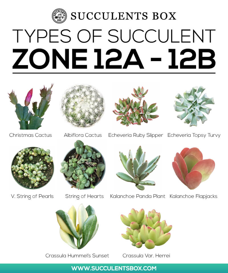 Types of Succulents for Zone 12