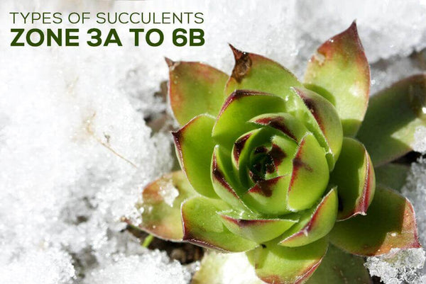 CHOOSING SUCCULENTS FOR ZONE 3, 4, 5 & 6 - NEW YORK, PENNSYLVANIA, OHIO AND MINNESOTA