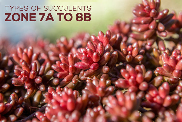 Types of Succulents Zone 7a to 8b