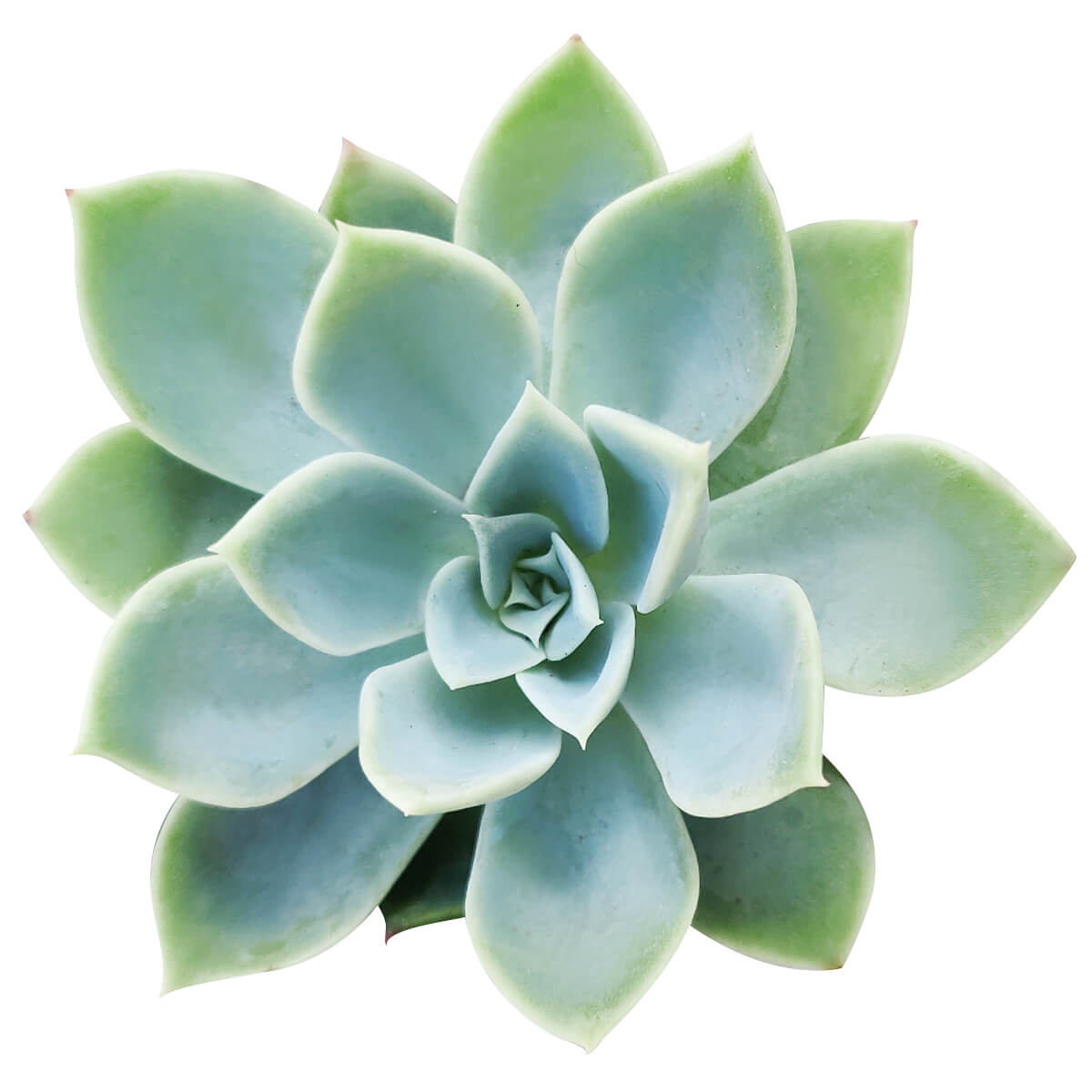 Echeveria Blue Atoll for sale, monthly succulents, succulents store in CA, cactus, succulent care, succulent care guide, how to grow succulents, succulent plant, Succulents, Echeveria Blue Atoll in California, How to grow Echeveria Blue Atoll, Succulents for thanksgiving, Thanksgiving succulents gift, Easter succulents idea