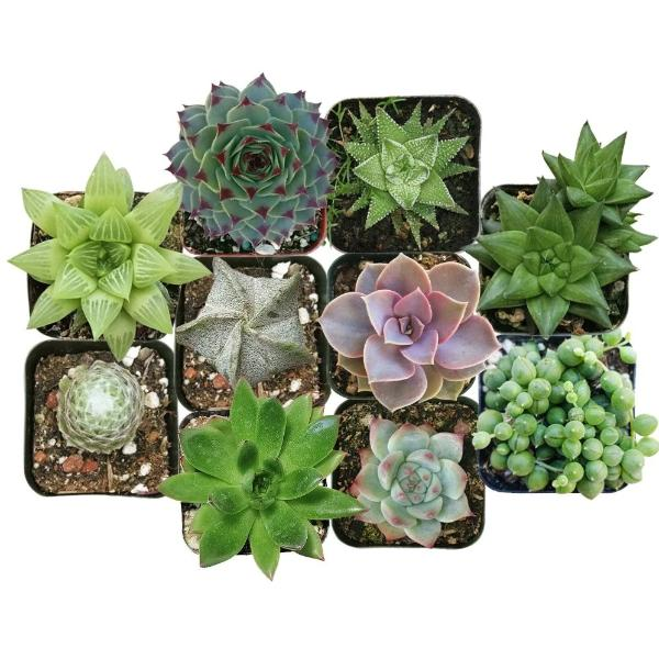 Best Succulents Pack for Beginners, Real Live Potted Succulents, Succulent Plants for beginners, Succulents Pack for sale, Assorted succulents for sale