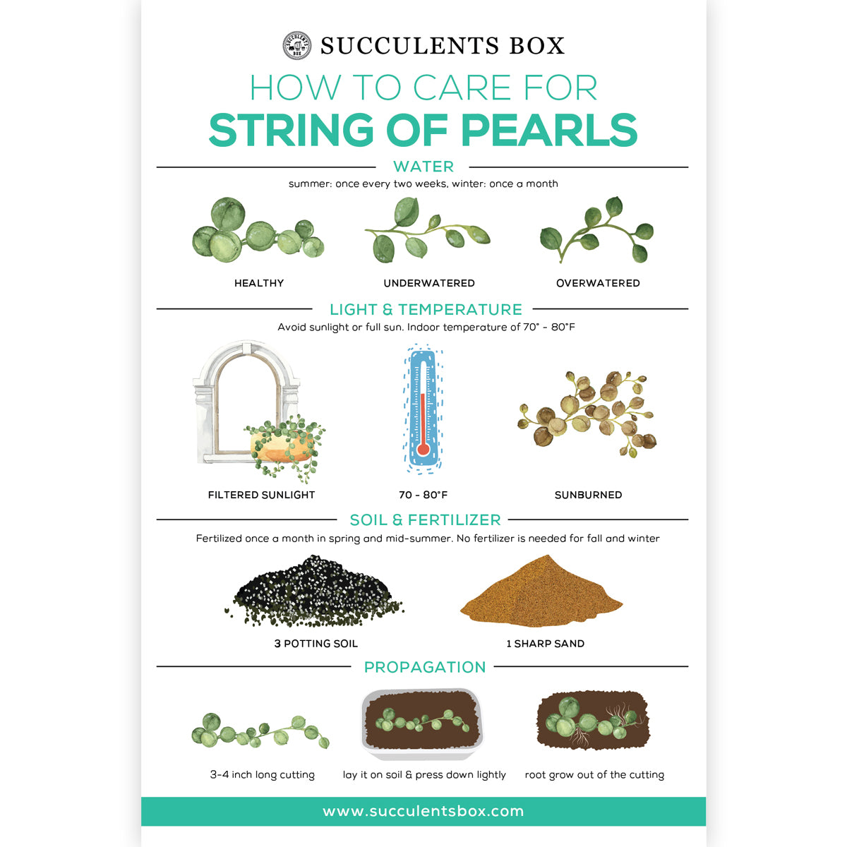 How to care for String of Pearls succulent plant, String of Pearls Succulent Care Guide for sale, How to grow Senecio String of Pearls plant