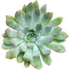 Echeveria Pulidonis for Sale
