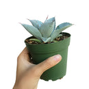 succulent, agave succulent, indoor, outdoor, Succulents shop near me, indoor succulents, Rare succulents, how to grow succulents, monthly succulents, succulent subscription, succulents garden, succulent plant, agave succulent in California, How to grow agave succulent