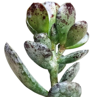 Calico Hearts Succulent for Sale