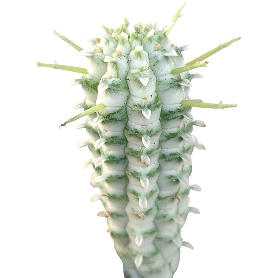 Euphorbia mammillaris variegata, Indian Corncob plant care, cactus, Succulents, succulent care, succulents garden, succulent care tips, how to grow succulents, succulent subscription, monthly succulents, Indian Corncob in California, How to grow Indian Corncob