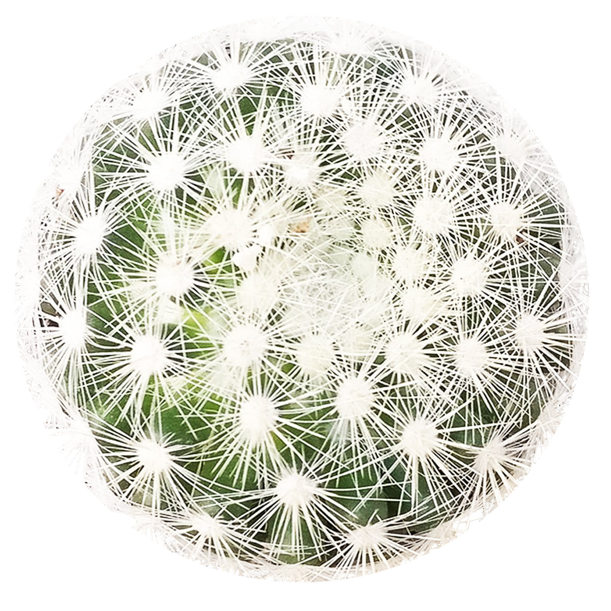 Mammillaria carmenae albiflora, succulent care guide, monthly succulents, Succulents, how to grow succulents, cactus, succulents shop in California, indoor succulents, succulent care, Mammillaria carmenae albiflora in California, How to grow Mammillaria carmenae albiflora