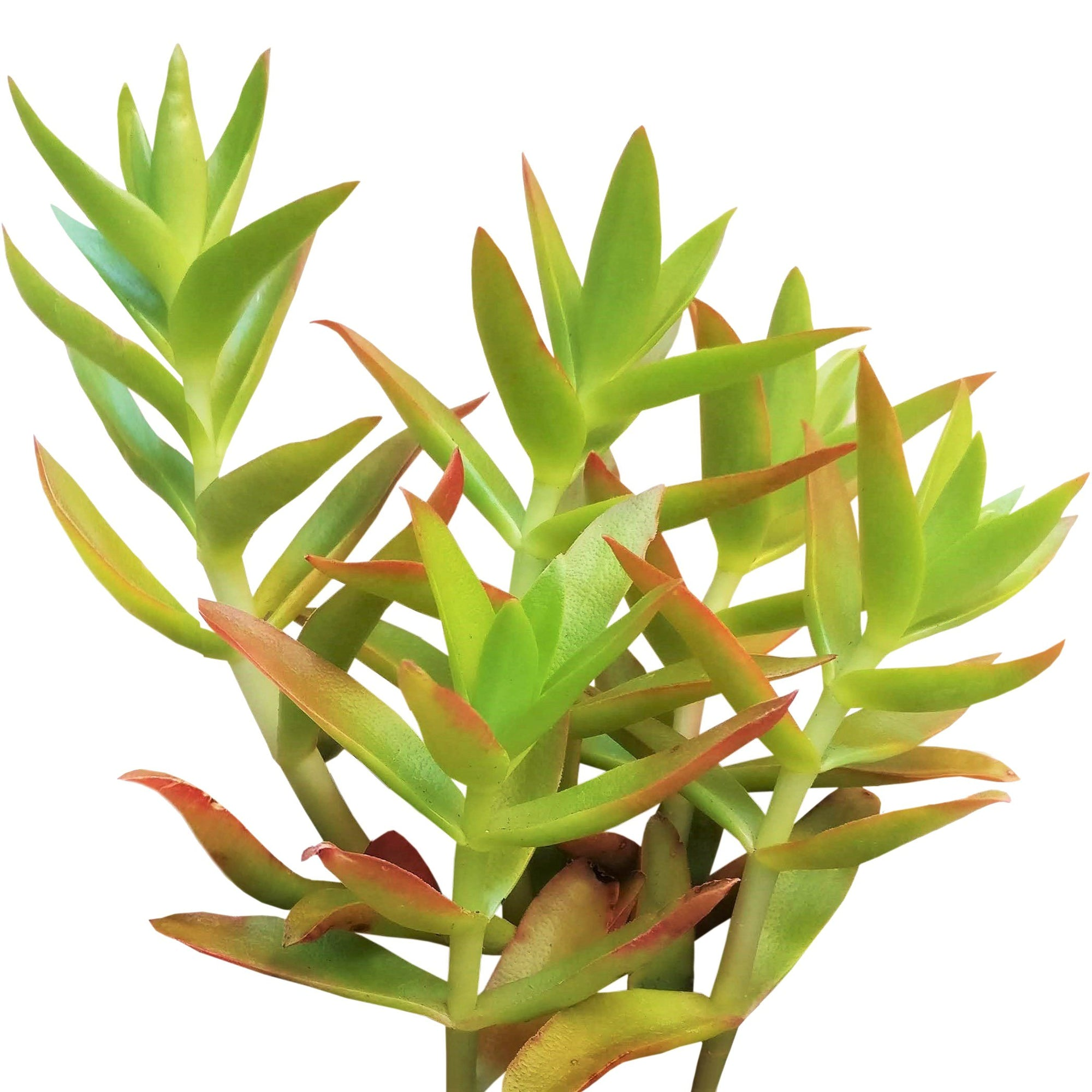 Crassula Campfire for Sale, succulents shop in California, succulent plant, succulent subscription, succulent care tips, indoor succulents, succulents garden, how to grow succulents, Rare succulents, Crassula Campfire in California, How to grow Crassula Campfire