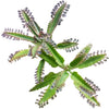 Mother of Thousands Kalanchoe