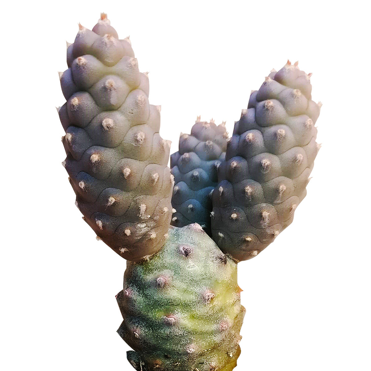 Pine Cone Cactus for sale, Rare succulents, indoor succulents, succulents shop in California, succulent plant, succulents store in CA, succulent care, succulent subscription, succulent care guide, Pine Cone Cactus in California, How to grow Pine Cone Cactus