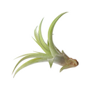 Tillandsia Capitata Peach Air Plant for sale, How to grow Capitata Peach Air Plant indoor, How to care for Capitata Peach Air Plant, Live indoor air plants for sale, Air plants gift ideas, Air plants home office decoration, Air plants subscription box delivered monthly