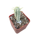 Indian Corn Cob, cactus, Succulents, succulent care, succulents garden, succulent care tips, how to grow succulents, succulent subscription, monthly succulents, Indian Corncob in California, How to grow Indian Corncob