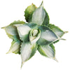 Variegated Agave Butterfly