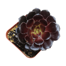 Live Aeonium Black Rose, easy to grow, succulents garden, indoor succulents, succulent care tips, succulents store in CA, cactus, monthly succulents, succulent subscription, succulent care, Black Rose in California, How to grow Black Rose