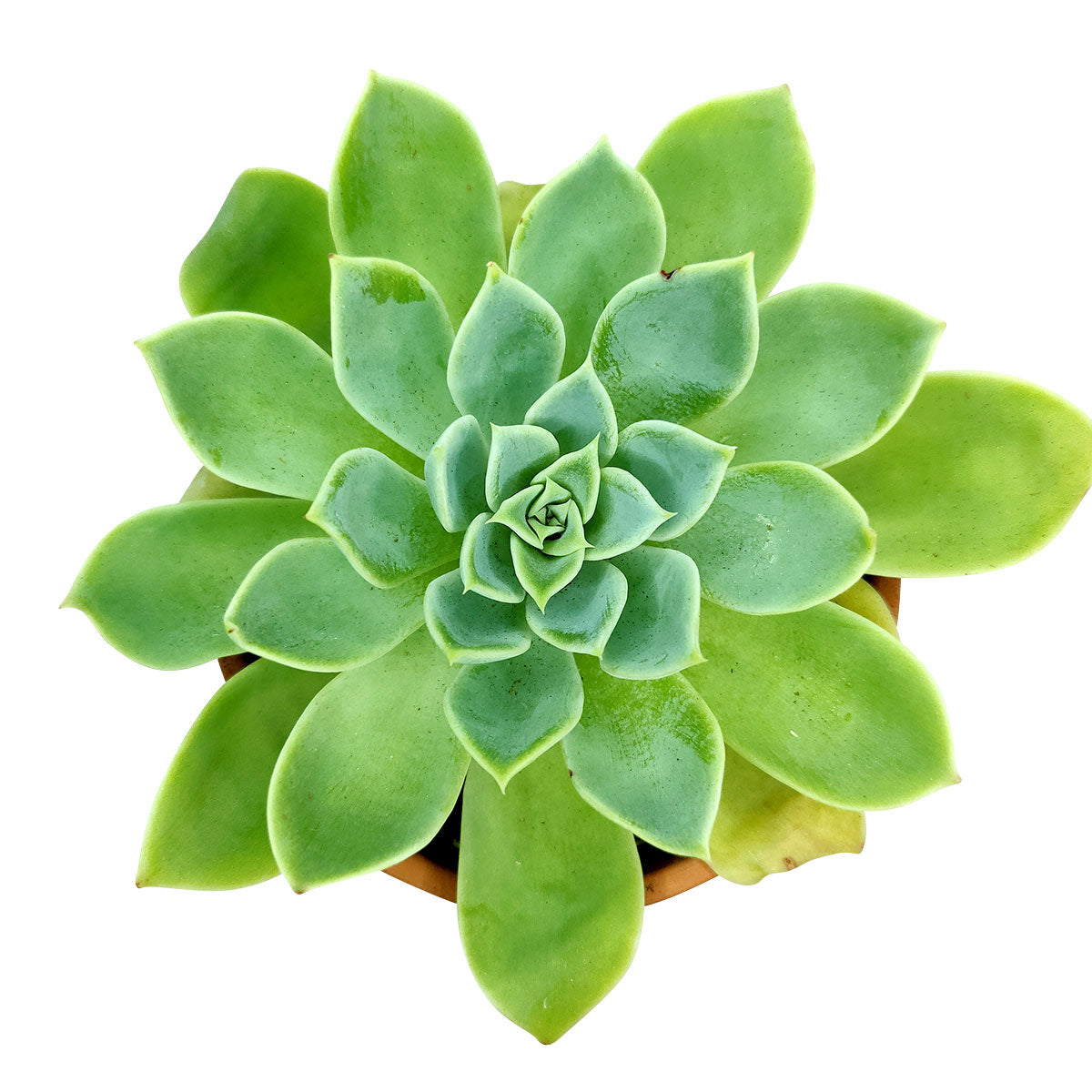 Echeveria Blue Atoll plant, Succulents shop near me, succulent care guide, Rare succulents, succulent care, monthly succulents, how to grow succulents, cactus, succulents store in CA, Echeveria Blue Atoll plant in California, How to grow Echeveria Blue Atoll plant, How to care echeveria succulents for thanksgiving, Easter echeveria gift