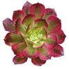 Aeonium Mardi Gras, Succulents, succulent care guide, Succulents shop near me, succulent care, succulents store in CA, succulents garden, succulent plant, monthly succulents, Aeonium Mardi Gras in California, How to grow Aeonium Mardi Gras