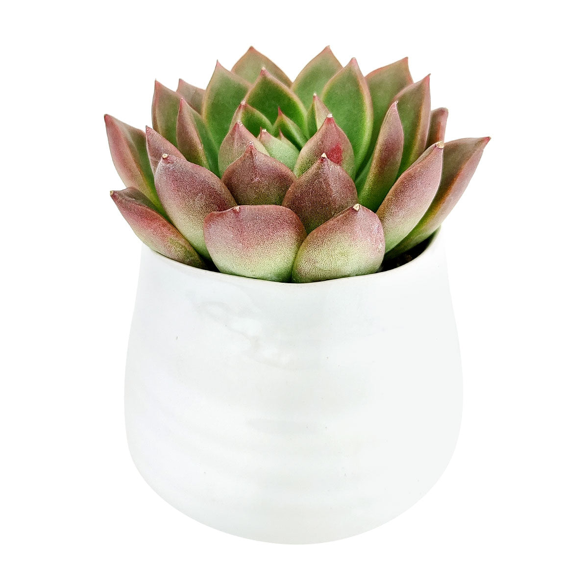 Wavy Ceramic Pot for sale, Small White Ceramic Pot for succulents and flowers, Modern style flower pot for sale, Succulent gift decor ideas