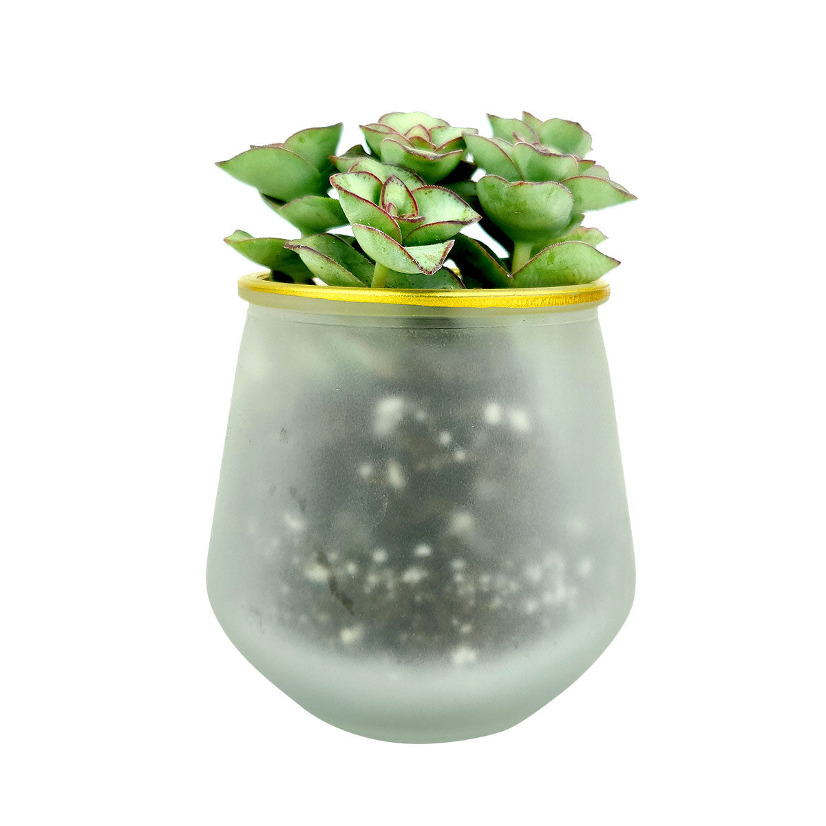 Pot for sale, Mini pot for succulent, Succulent pot decor ideas, Frosted Gold Rim Pot, Flower pot for sale, glass pots for planting, succulent gift for holiday