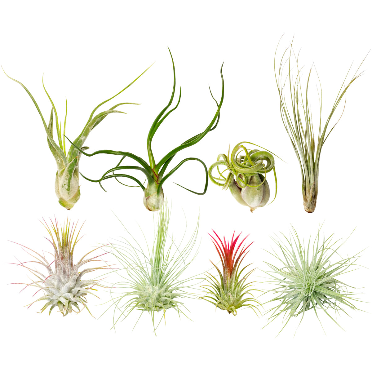 Assorted Collection of Live Air Plants Randomly Picked, Set of Live Air Plants, Air Plants Gift Box, Air Plants Gift Ideas, Air Plants Decoration, Rare Air Plants for Sale