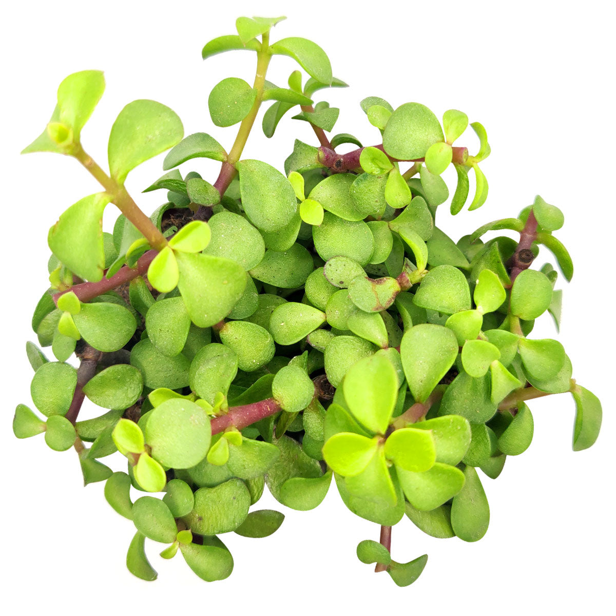 Portulacaria afra Decumbent Succulent for sale, How to care for Portulacaria afra Decumbent Plant, Elephant Bush Succulent  dwarf jade plant