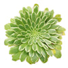 Aeonium Emerald Ice Bright Green Rosette Succulent for sale, How to grow and care for Aeonium Succulent Plant, Aeonium Emerald Ice Propagation, Premium Succulent Gift Box for any occasion, Aeonium Emerald Ice Succulent with care guide, Succulent & Cactus for sale