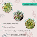 How to care for aeonium sunburst Succulent, How to make your succulent pink, How to change succulent color, How to make aeonium Succulent turn pink, Succulent turning pink, How to make succulents change color, How to grow colorful succulents.