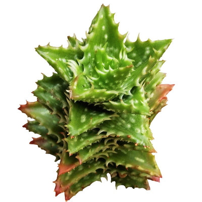 Tiger Tooth Aloe for sale, succulent care, Succulents shop near me, succulents garden, succulent care tips, Succulents, how to grow succulents, Rare succulents, indoor succulents, Tiger Tooth Aloe in California, How to grow Tiger Tooth Aloe