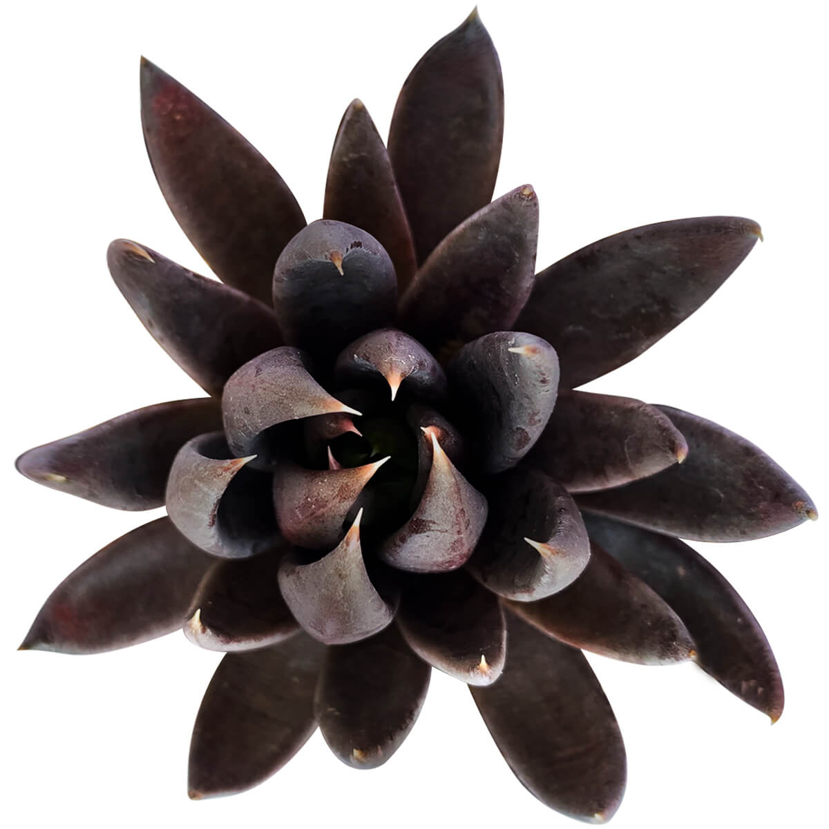Echeveria Black Knight