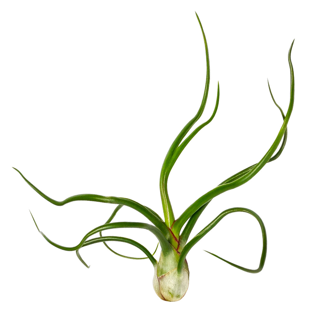 Tillandsia Bulbosa Belize Air Plant for Sale, How to grow Bulbosa Belize Air Plant indoor, Bulbosa Belize Air Plant Care Instructions, Rare air plants for sale, Air plants gift subscription box monthly, Air plants home decor ideas, Air Plants subscription delivered monthly