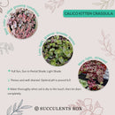 How to care for calico kitten Succulent, How to make your succulent pink, How to change succulent color, How to make calico kitten Succulent turn pink, Succulent turning pink, How to make succulents change color, How to grow colorful succulents