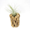 Cholla Wood for Air Plants