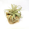 Air Plants Container