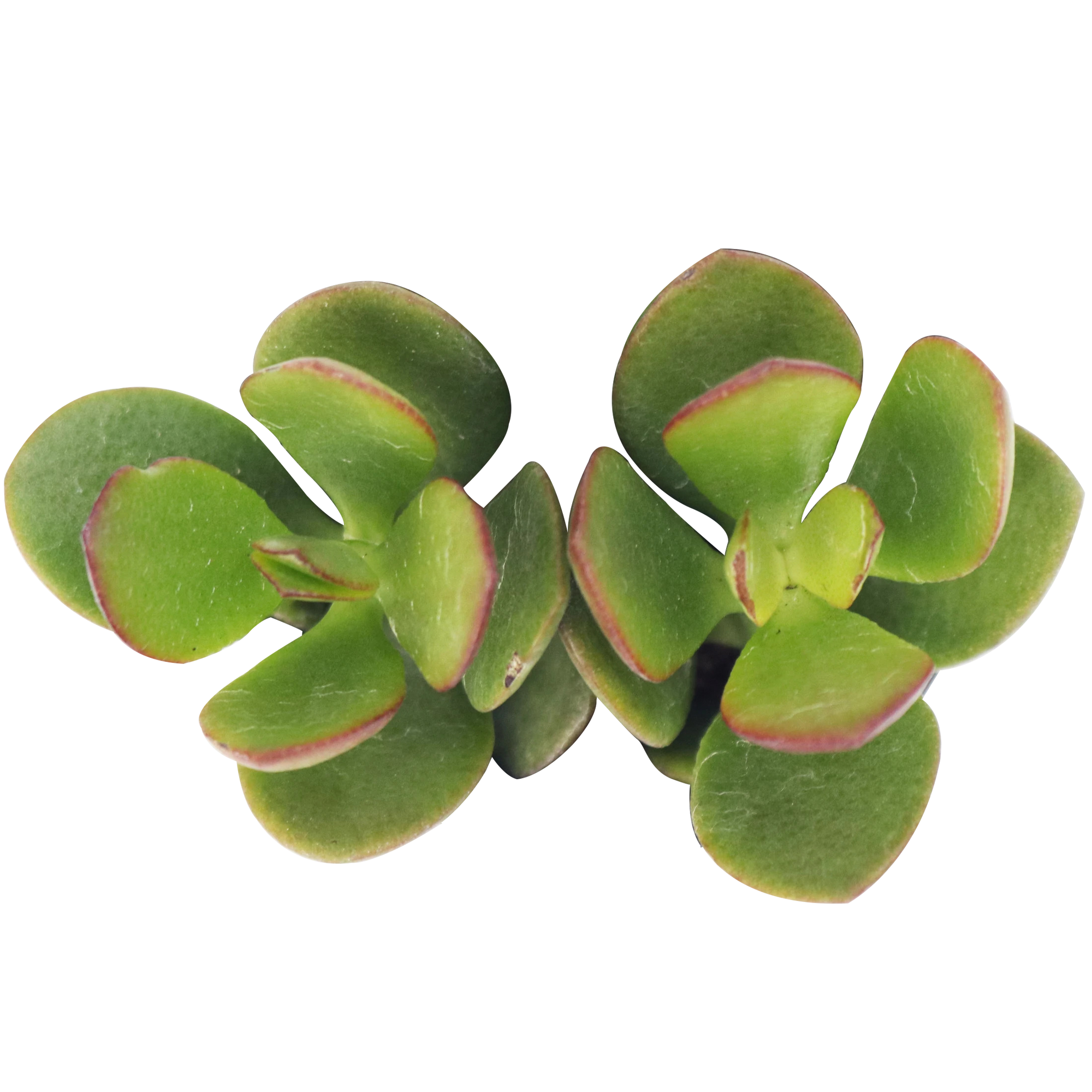 Crassula Ovata Obliqua Jade Plant for sale, How to care for Crassula Ovata Obliqua Jade Plant, Friendship Tree, Lucky Plant, Money Tree, Penny Plant, Dollar Plant, Tree of Happiness