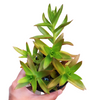 Crassula Campfire Propeller Plant, succulent subscription, succulent care tips, succulent care, succulents store in CA, cactus, Succulents, succulent care guide, Rare succulents, Crassula Campfire plant in California, How to grow Crassula Campfire plant