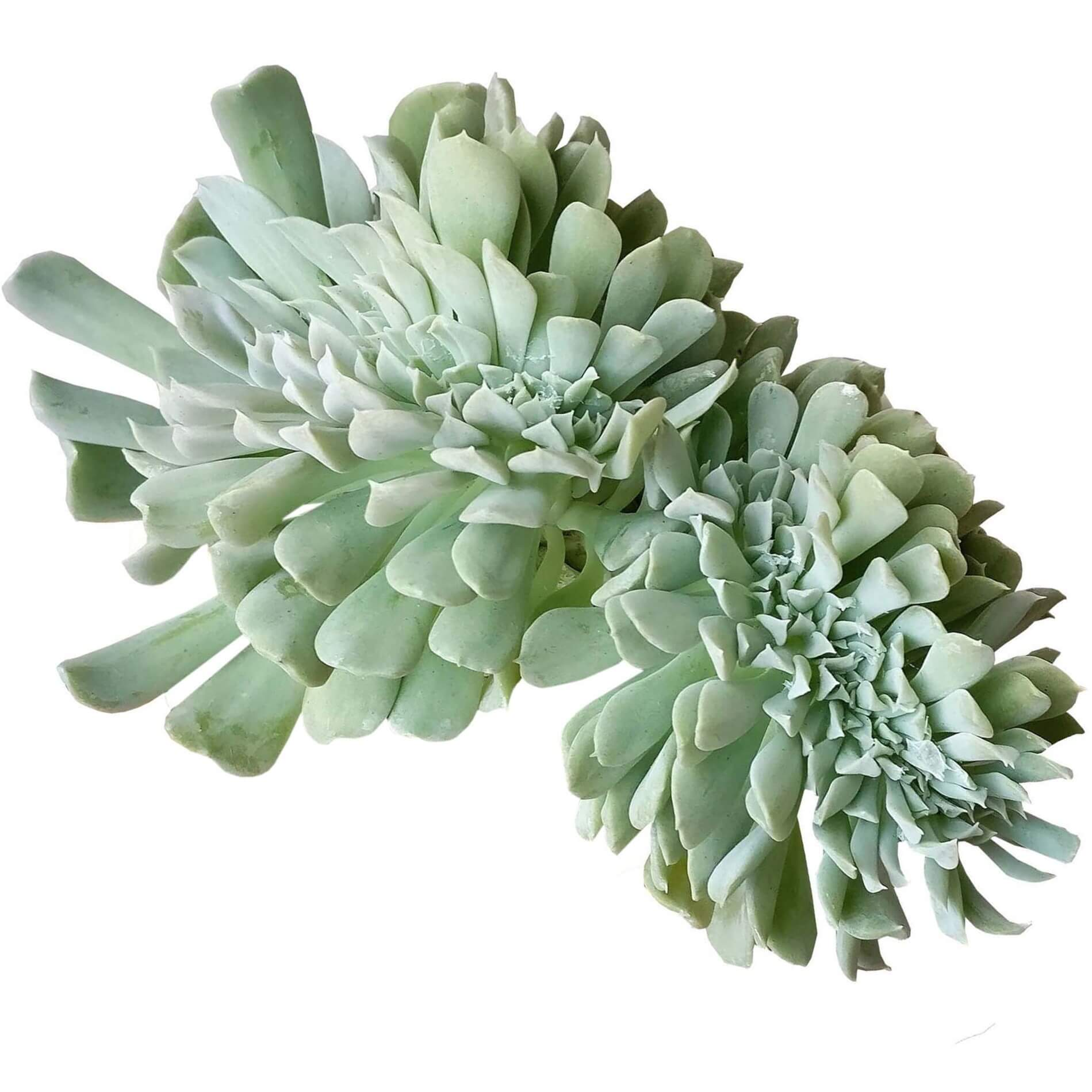 Echeveria runyonii, succulents garden, how to grow succulents, succulents shop in California, succulent care tips, succulent care guide, succulent plant, Succulents, monthly succulents, Echeveria runyonii in California, How to grow Echeveria runyonii, Echeveria for thanksgiving, How to care echeveria succulents for thanksgiving