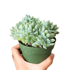 Echeveria Topsy Turvy for sale, succulents garden, indoor succulents, succulent care guide, Succulents, how to grow succulents, succulent care tips, succulent plant, succulent subscription, Echeveria Topsy Turvy in California, How to grow Echeveria Topsy Turvy, Echeveria Succulents for Thanksgiving Decoration
