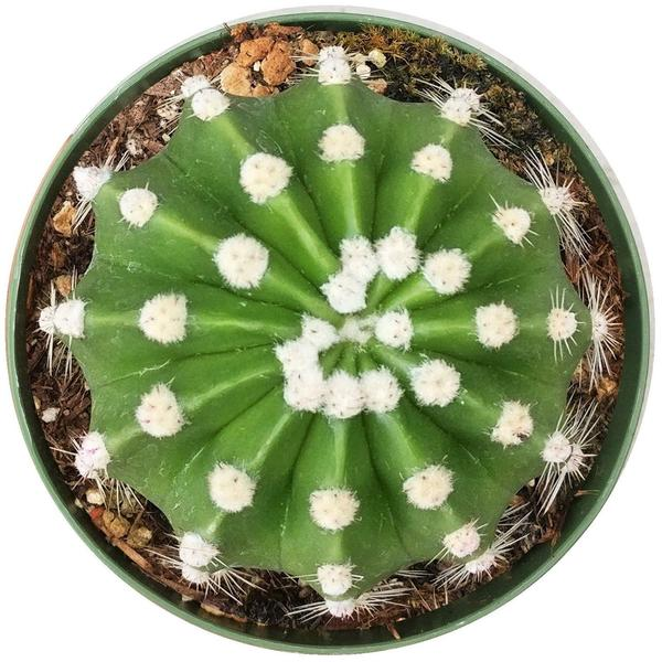 Domino cactus for sale, Rare succulents, succulents shop in California, indoor succulents, succulents store in CA, Succulents, succulents garden, succulent care tips, succulent care guide, Domino cactus in California, How to grow Domino cactus