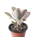 Echeveria Decora Variegated for sale, How to grow Echeveria Decora Variegated, Variegata Echeveria Decora broad flatish leaves, Rare Variegated Echeveria Decora, Tricolor Echeveria Decora Plant Care, Succulents, Cactus, Succulents Gift Box, Succulent Home Decoration, Shop Succulents Online Store, Succulents Shop in California, Echeveria decora for sale