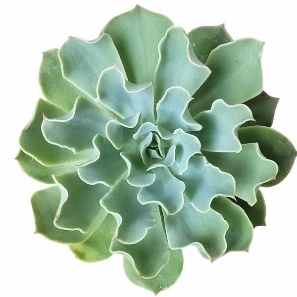 Echeveria gray curl for sale, succulents store in CA, succulent care guide, succulent plant, Rare succulents, succulent subscription, monthly succulents, succulent care, indoor succulents, Echeveria gray curl in California, How to grow Echeveria gray curl, How to care echeveria succulents for thanksgiving, Easter echeveria gift, Echeveria gift for thanksgiving, Easter eggs echeveria
