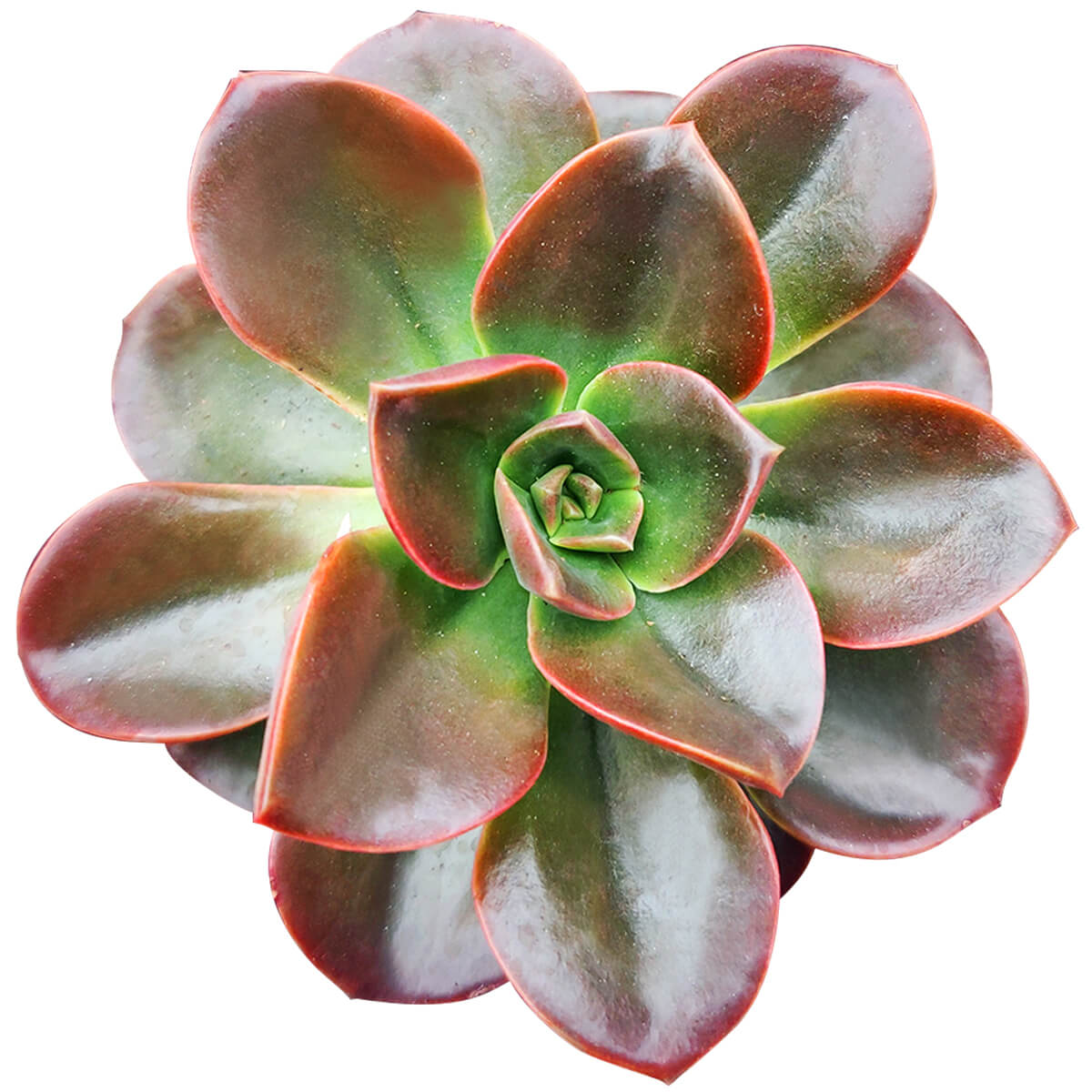 Echeveria Melaco for sale, how to grow succulents, succulents store in CA, succulent care, monthly succulents, Succulents shop near me, Succulents, succulent care guide, Rare succulents, Echeveria Melaco in California, How to grow Echeveria Melaco, How to care echeveria succulents for thanksgiving, Easter echeveria gift