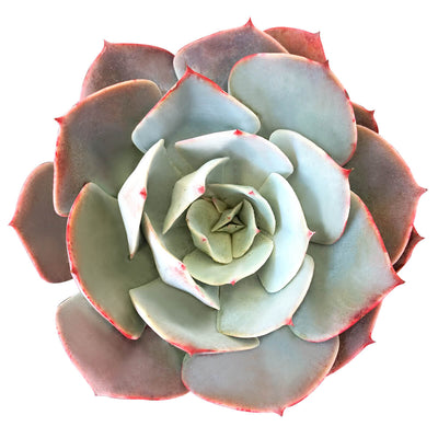 Echeveria White Rose for sale, cactus, succulents garden, monthly succulents, succulent care, how to grow succulents, succulent plant, Rare succulents, indoor succulents, Echeveria White Rose  in California, How to grow Echeveria White Rose