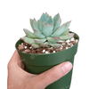 Echeveria Apus Succulent, cactus, Succulents, succulent care tips, succulent care guide, how to grow succulents, Rare succulents, succulents shop in California, indoor succulents, Echeveria Apus Succulent in California, How to grow Echeveria Apus Succulent, Succulent Plants for Thanksgiving Decor