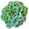 Echeveria Lime and Chili Succulent, Echeveria Lime n Chile Plant, Lime Green Rosettes, Buy Succulents Online, Shop Succulents in California, Lime Green Echeveria Succulent Plant, Rosettes Succulent, Thanksgiving succulents gift, Easter succulents idea, Growing succulents for thanksgiving