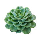 Echeveria Lime and Chili Succulent, Echeveria Lime n Chile Plant, Lime Green Rosettes, Buy Succulents Online, Shop Succulents in California, Lime Green Echeveria Succulent Plant, Rosettes Succulent, Echeveria Succulents for Thanksgiving