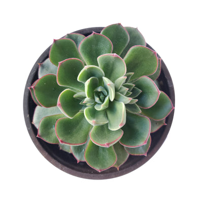 Echeveria Ciliata x Nodulosa for sale, Echeveria Ciliata x Nodulosa hybrid succulent plant, Echeveria Ciliata x Nodulosa Care Guide, How to grow Echeveria Ciliata x Nodulosa, How to care Echeveria Ciliata x Nodulosa succulent, Indoor succulent plants, green rosetted succulent, succulents, cactus, succulents subscription box monthly, succulents gift for female, succulent decoration, birthday gift for her
