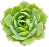 Echeveria Ramillette Succulent Plant, Mexican Hens and Chicks, Apple Green Rosettes, Buy Succulents Online, Shop Succulents in California, Succulents Home Decor, Types of Echeveria Succulents, Easter echeveria gift, Echeveria gift for thanksgiving