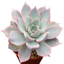 Echeveria Subsessilis Rose, indoor succulents, succulent care, succulent care tips, monthly succulents, how to grow succulents, succulents garden, Succulents, succulent plant, Echeveria Subsessilis Rose in California, How to grow Echeveria Subsessilis Rose, Echeveria gift for thanksgiving, Easter eggs echeveria
