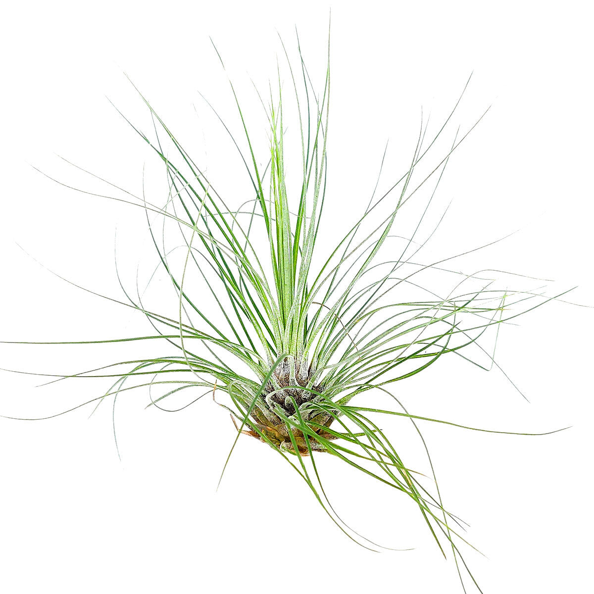 Tillandsia Filifolia air plant for sale, How to care for Tillandsia Filifolia air plant, air plant gift decor ideas, Growing Tillandsia Filifolia air plant