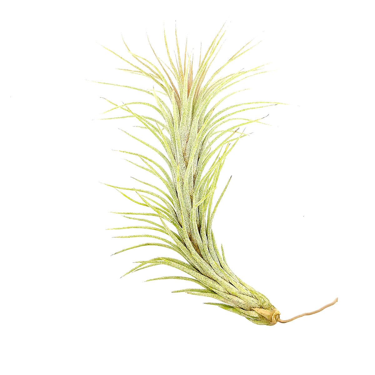 Tillandsia Funckiana type 2 air plant for sale, How to care for Tillandsia Funckiana type 2 air plant, air plant gift decor ideas, Growing Tillandsia Funckiana type 2 air plant, rare air plant